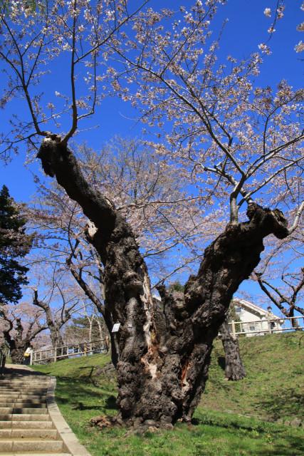 公園内にあるサクラの古木